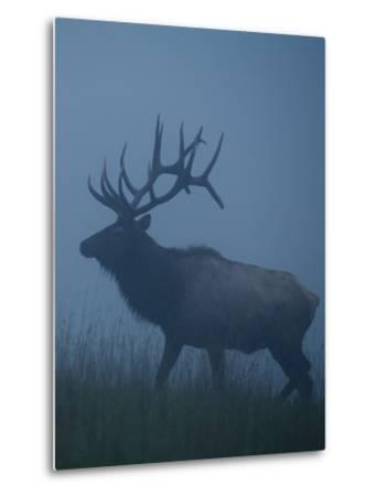 Trophy Bull Elk with Huge Record Class Antlers, in Fog and Mist, in Western Pennsylvania near Benez-Tom Reichner-Metal Print