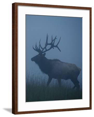 Trophy Bull Elk with Huge Record Class Antlers, in Fog and Mist, in Western Pennsylvania near Benez-Tom Reichner-Framed Photographic Print