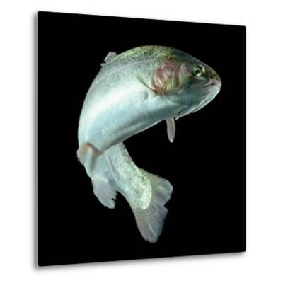 ADULT TROUT FISH ISOLATED ON BLACK-Ammit Jack-Metal Print