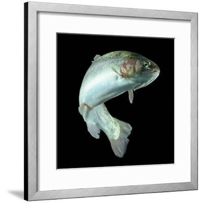ADULT TROUT FISH ISOLATED ON BLACK-Ammit Jack-Framed Photographic Print