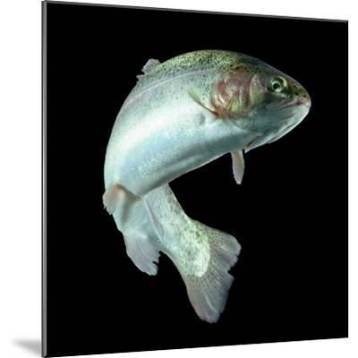 ADULT TROUT FISH ISOLATED ON BLACK-Ammit Jack-Mounted Photographic Print