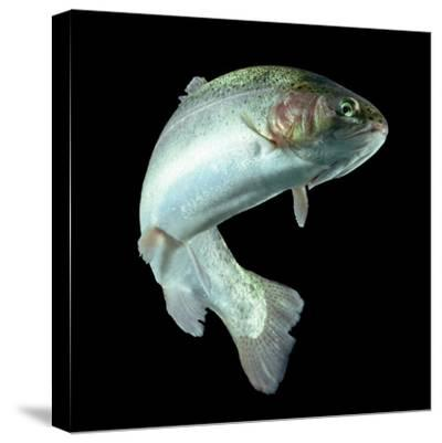 ADULT TROUT FISH ISOLATED ON BLACK-Ammit Jack-Stretched Canvas Print