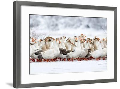 Domestic Geese Outdoor in Winter- aabeele-Framed Photographic Print