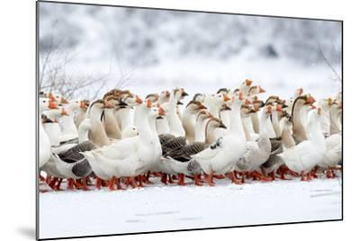 Domestic Geese Outdoor in Winter- aabeele-Mounted Photographic Print