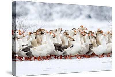 Domestic Geese Outdoor in Winter- aabeele-Stretched Canvas Print