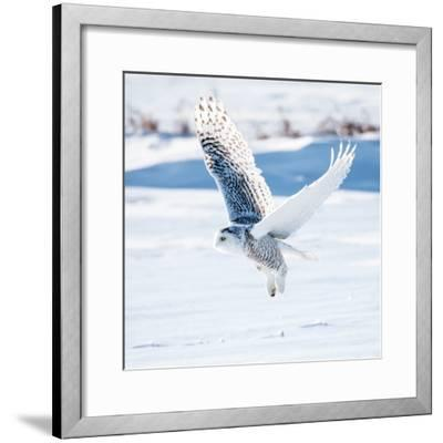 Snowy Owl in Flight- FotoRequest-Framed Photographic Print