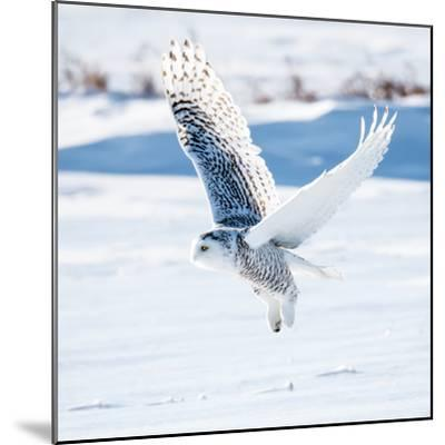 Snowy Owl in Flight- FotoRequest-Mounted Photographic Print