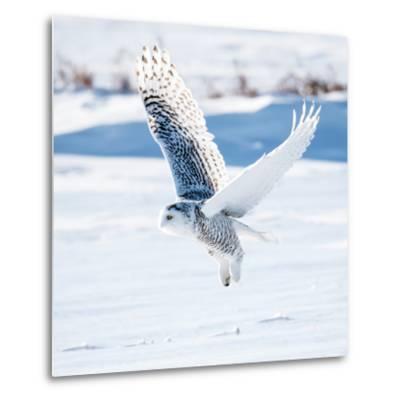 Snowy Owl in Flight- FotoRequest-Metal Print