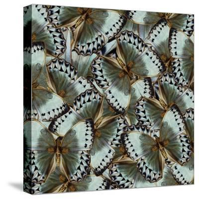 Exotic Grey and Pale Green Background Made of Cambodian Junglequeen Butterflies in the Greatest Des-Super Prin-Stretched Canvas Print