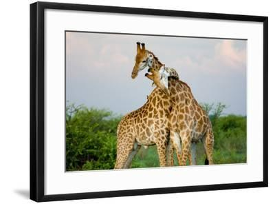 A Pair of Giraffe Entwining their Necks- Tim_Booth-Framed Photographic Print