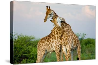 A Pair of Giraffe Entwining their Necks- Tim_Booth-Stretched Canvas Print