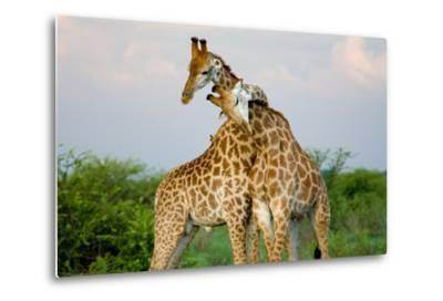 A Pair of Giraffe Entwining their Necks- Tim_Booth-Metal Print