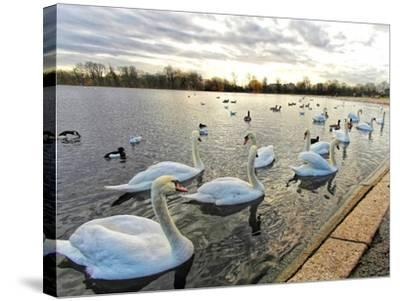 Swans on Lake at Sunset .-Honey Cloverz-Stretched Canvas Print