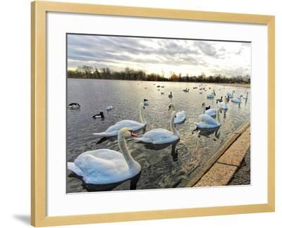 Swans on Lake at Sunset .-Honey Cloverz-Framed Photographic Print