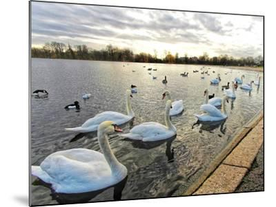 Swans on Lake at Sunset .-Honey Cloverz-Mounted Photographic Print