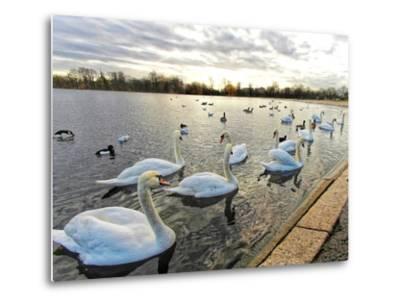 Swans on Lake at Sunset .-Honey Cloverz-Metal Print
