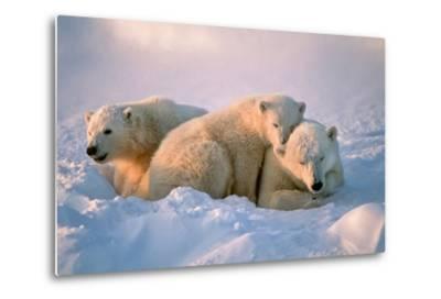 Polar Bear with Her Cubs-outdoorsman-Metal Print