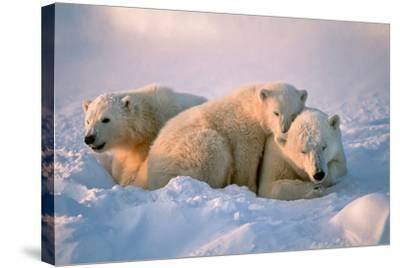 Polar Bear with Her Cubs-outdoorsman-Stretched Canvas Print