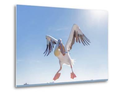 Great White Pelican Catches Fish Thrown by Tourists on the Deck of the Ship - Namibia, South Africa-Vadim Petrakov-Metal Print