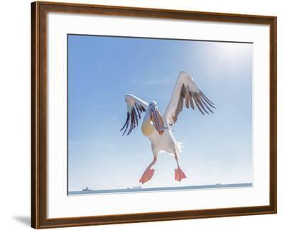 Great White Pelican Catches Fish Thrown by Tourists on the Deck of the Ship - Namibia, South Africa-Vadim Petrakov-Framed Photographic Print