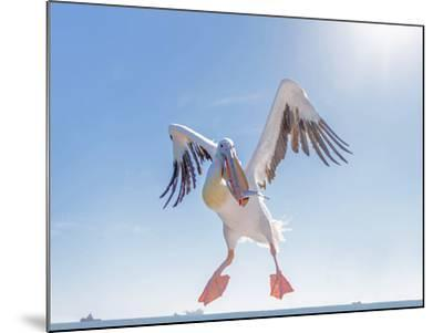 Great White Pelican Catches Fish Thrown by Tourists on the Deck of the Ship - Namibia, South Africa-Vadim Petrakov-Mounted Photographic Print