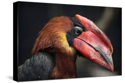 Rufous Hornbill (Buceros Hydrocorax), also known as the Philippine Hornbill.-Vladimir Wrangel-Stretched Canvas Print
