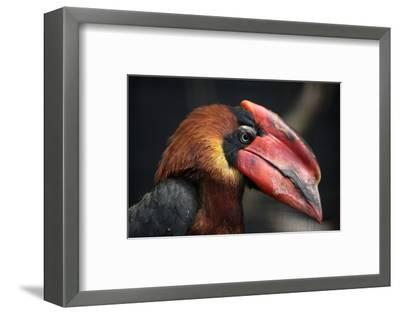Rufous Hornbill (Buceros Hydrocorax), also known as the Philippine Hornbill.-Vladimir Wrangel-Framed Photographic Print