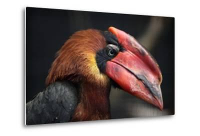 Rufous Hornbill (Buceros Hydrocorax), also known as the Philippine Hornbill.-Vladimir Wrangel-Metal Print