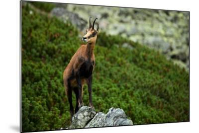 Chamois on the Top of Rock in High Tatras- Losonsky-Mounted Photographic Print