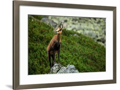 Chamois on the Top of Rock in High Tatras- Losonsky-Framed Photographic Print
