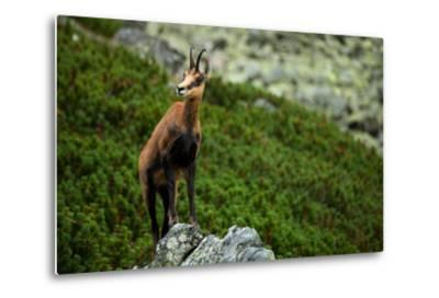 Chamois on the Top of Rock in High Tatras- Losonsky-Metal Print