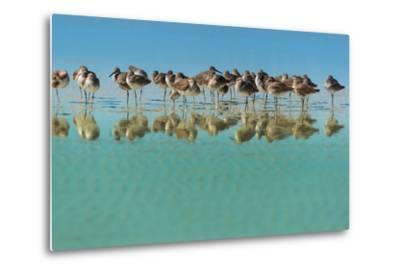 Group of Willets Reflection on the Beach Florida's Wildlife-Kris Wiktor-Metal Print