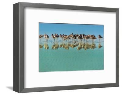 Group of Willets Reflection on the Beach Florida's Wildlife-Kris Wiktor-Framed Photographic Print