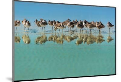 Group of Willets Reflection on the Beach Florida's Wildlife-Kris Wiktor-Mounted Photographic Print