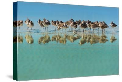 Group of Willets Reflection on the Beach Florida's Wildlife-Kris Wiktor-Stretched Canvas Print