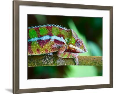 Green Chameleon on the Green Grass-Fedor Selivanov-Framed Photographic Print