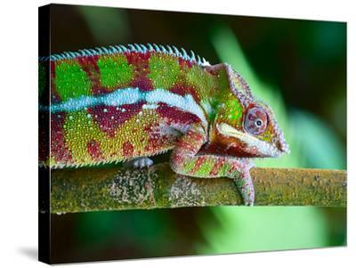 Green Chameleon on the Green Grass-Fedor Selivanov-Stretched Canvas Print