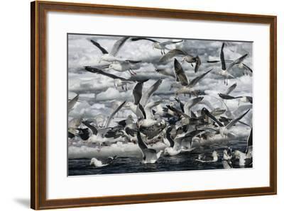 Slaty-Backed Gull, Larus Schistisagus, Group by Water, Japan-Erni-Framed Photographic Print