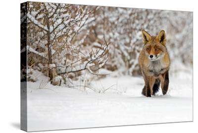 Red Fox Walks through the Snow-Menno Schaefer-Stretched Canvas Print