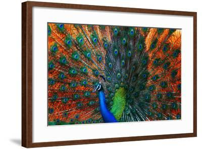 Peacock Showing Feathers on the Bright Red Background-Dudarev Mikhail-Framed Photographic Print