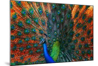 Peacock Showing Feathers on the Bright Red Background-Dudarev Mikhail-Mounted Photographic Print
