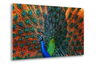 Peacock Showing Feathers on the Bright Red Background-Dudarev Mikhail-Metal Print