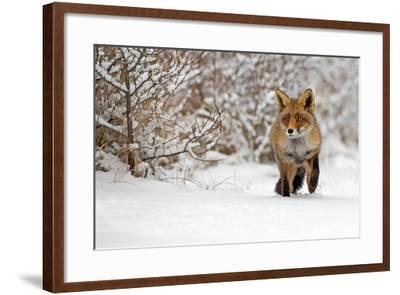 Red Fox Walks through the Snow-Menno Schaefer-Framed Photographic Print