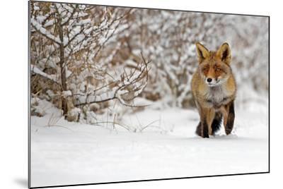 Red Fox Walks through the Snow-Menno Schaefer-Mounted Photographic Print