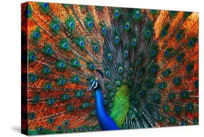 Peacock Showing Feathers on the Bright Red Background-Dudarev Mikhail-Stretched Canvas Print