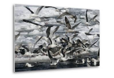 Slaty-Backed Gull, Larus Schistisagus, Group by Water, Japan-Erni-Metal Print