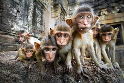 Baby Monkeys are Curious,Lopburi, Thailand.- jeep2499-Framed Photographic Print