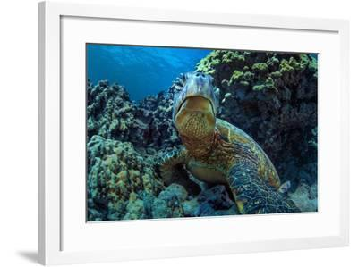 Beautiful Underwater Wildlife Postcard. Hawaiian Sea Turtle Honu Getting Rest in Coral Reef. Wild N-Willyam Bradberry-Framed Photographic Print