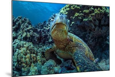 Beautiful Underwater Wildlife Postcard. Hawaiian Sea Turtle Honu Getting Rest in Coral Reef. Wild N-Willyam Bradberry-Mounted Photographic Print