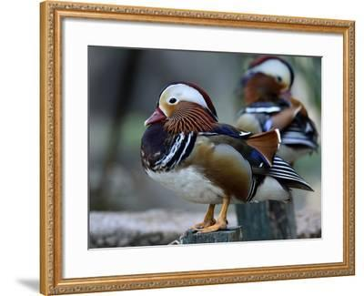 Amazing Mandarin Duck (Aix Galericulata) the Fantastic Animal Standing on the Pole with Other Behin-Super Prin-Framed Photographic Print